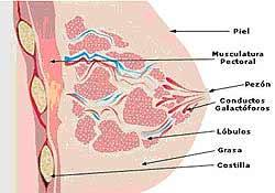 Anatomía de la mama - Partes de la mama