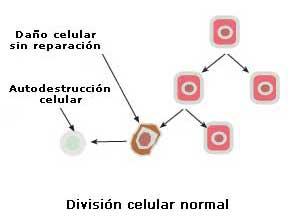 ¿Qué es el cáncer - División normal de las celulas