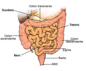 Resultado de imagen para intestino delgado